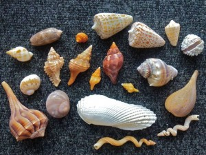 Tammy seashells Sanibel