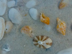 keyhole limpets with miniature shells