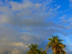 pelicans fly over palms