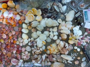 sorting seashells identification