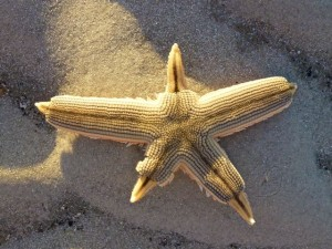 starfish regrow arms