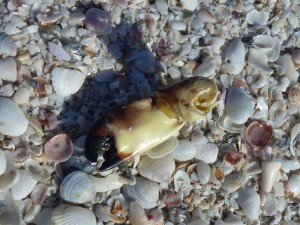 stone crab claw on beach