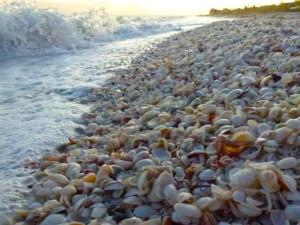whelk seashells Sanibel beach