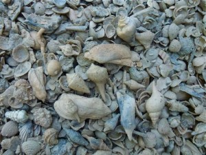 whole florida walk way shells driveway