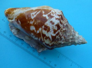 5 inch juvenile milk conch sanibel florida