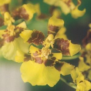 Oncidium-altissimum orchid