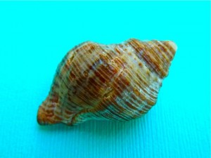 Rock snail shell Sanibel Codringtonia codringtonii