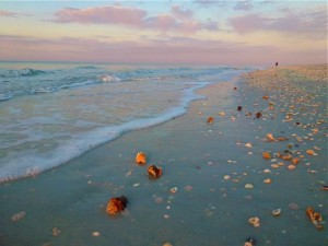 Sanibel dusk seashell conchs