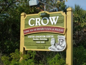 crow rehabilitation of wildlife sanibel