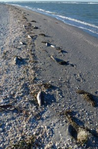 dead fish red tide sanibel