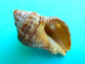 rock snail shell aperture sanibel