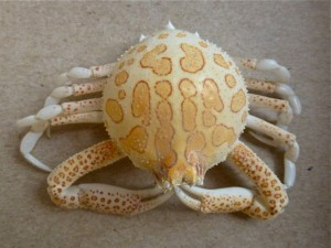 sanibel florida purse crab