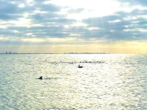 dolphin pelican sanibel gulf
