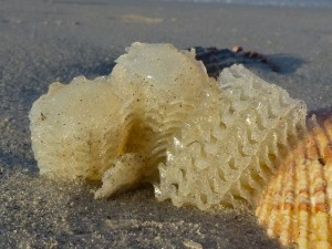 egg cases on cockle