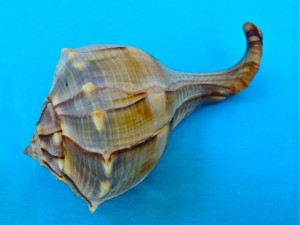 freak lightning whelk curly tail