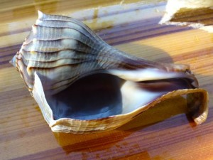 freak lightning whelk shell on kayak