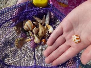 jessica seashell captiva junonia