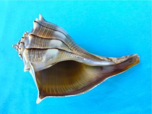 lightning whelk shell bend