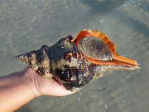 live horse conch sanibel lighthouse
