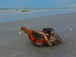 live orange horse conch