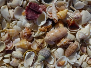 variety of Captiva shells