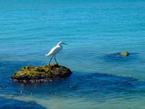 Snowy Egret captiva