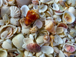 assorted seashells captiva florida