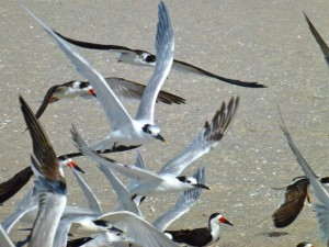 sandwich terns black skimmer