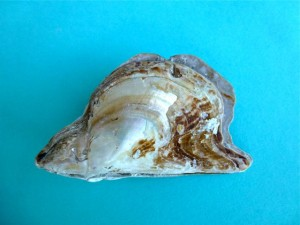 atlantic wing oyster pearl color