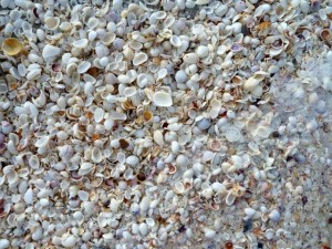 common bivalve shells sanibel