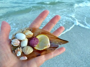 common sanibel seashells