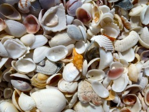 horse conch candy shell