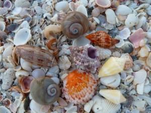kathy seashells