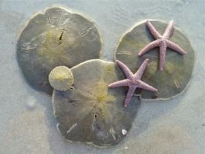 live sand dollars starfish