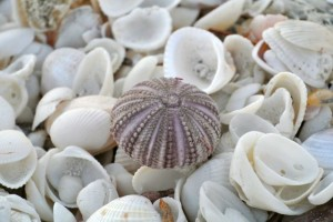 purple sea urchin on seashells