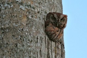 screech owl our tree