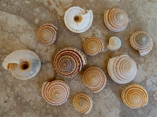 Different kinds of seashells images frompo 1 - Types of seashells for kids ...