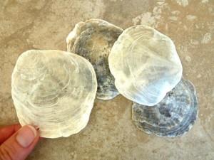 Placuna placenta capiz shells