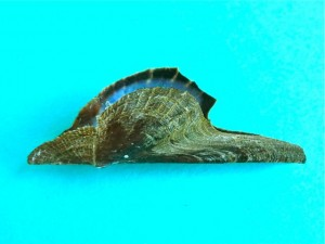 Pteria colymbus wing oyster juvenile