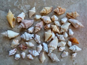 andaman sea conch shells