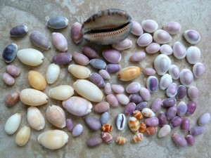 indo pacific cowrie shells