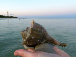 live lightning whelk