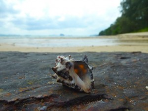 sea shell on rock thailand
