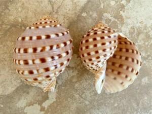 spotted tun- Tonna tesselata