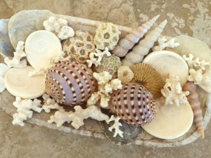 thailand tun seashells coral display