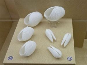 Phuket Shell Museum piddock bivalves