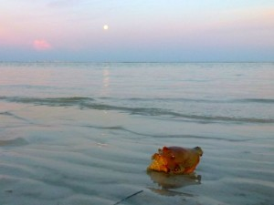 conch shell full moon