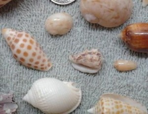 Atlantic morum seashells