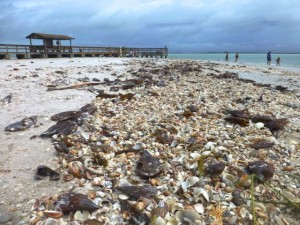 sanibel seashell beach