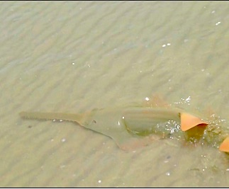 I Saw A Sawfish